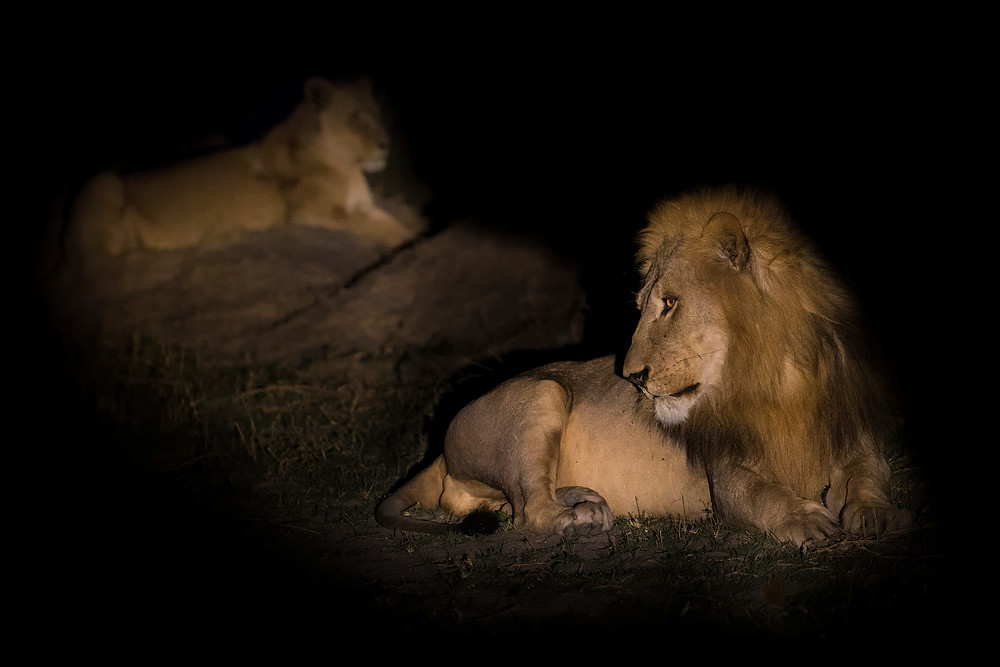Lions in the Okavango Delta in Botswana