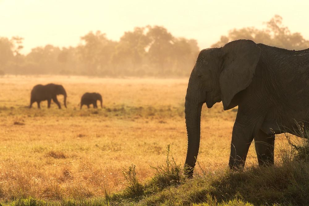 A herd of elephants in Masai Mara