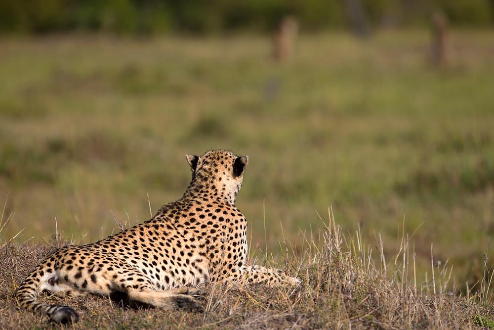 A cheetah  in Masai Mara, Kenya