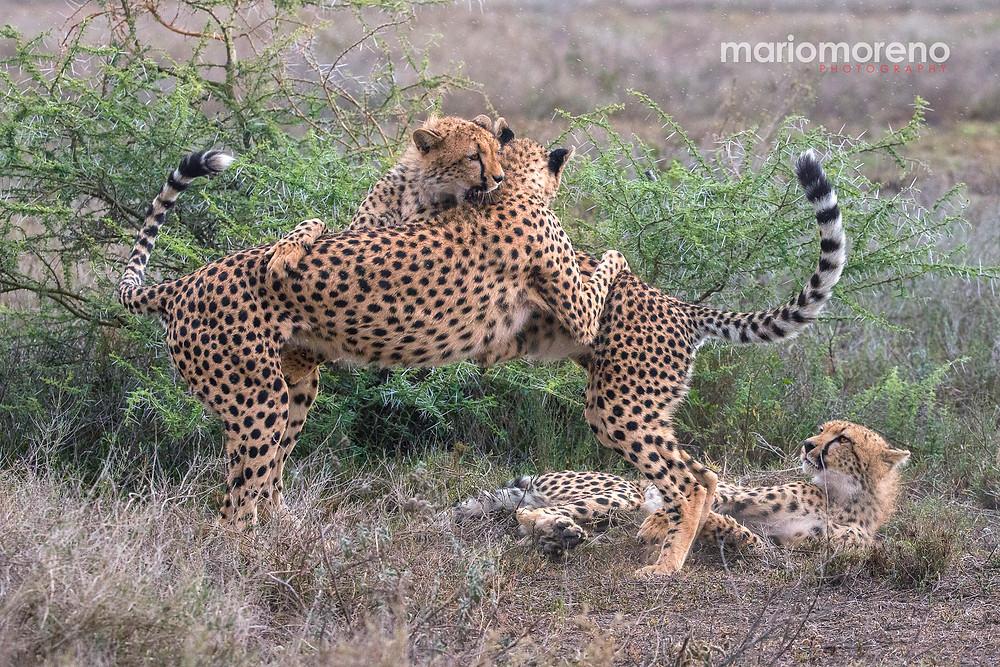 Cheetahs playing in the Serengeti