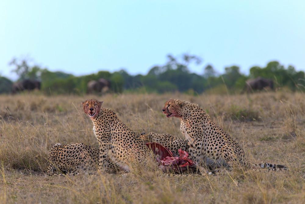 Cheetahs at a kill in Masai Mara, Kenya