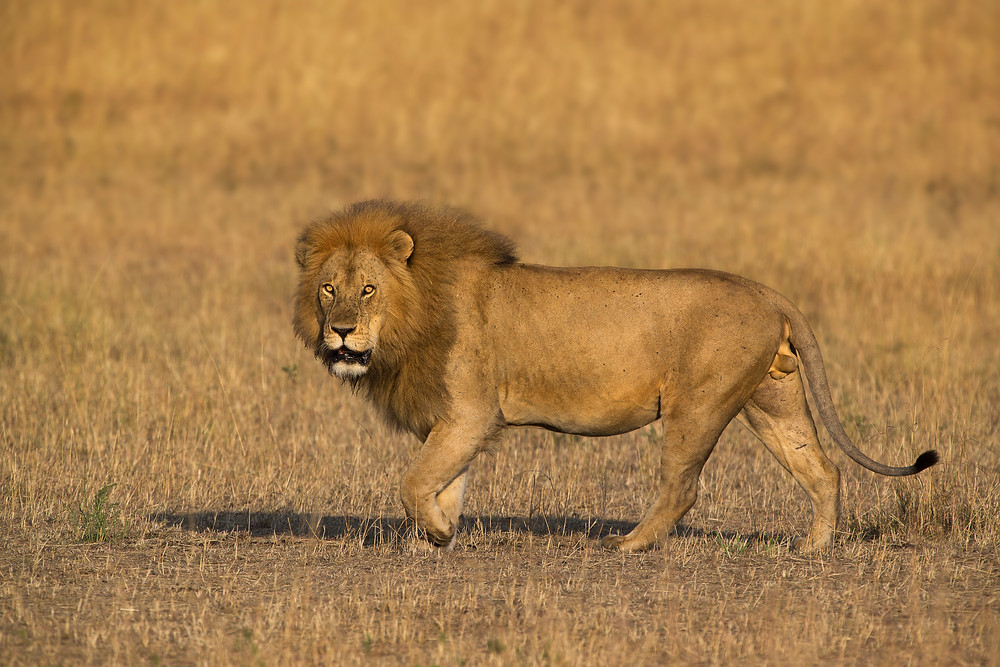 A male lion in the Serengeti National Park, Tanzania