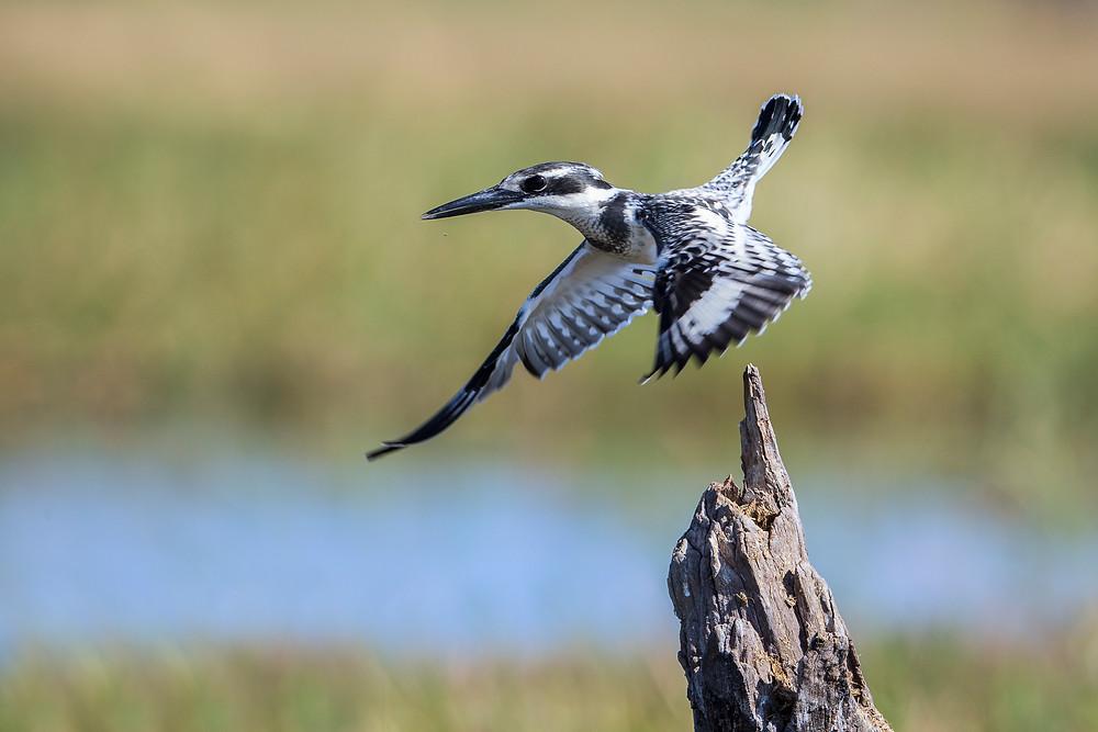 A pied kingfisher in the Okavango, Botswana