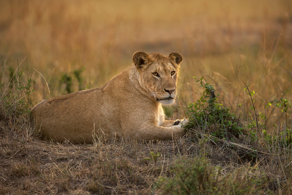 A lioness in the Serengeti National Park, Tanzania