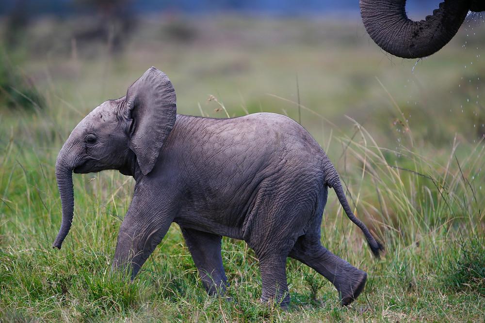 A baby elephant in Masai Mara, Kenya