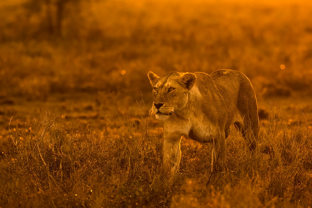Lioness at sunrise in the Serengeti National Park