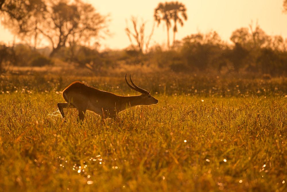 Red lechwe running over the flooded plains in the Okavango, Botswana