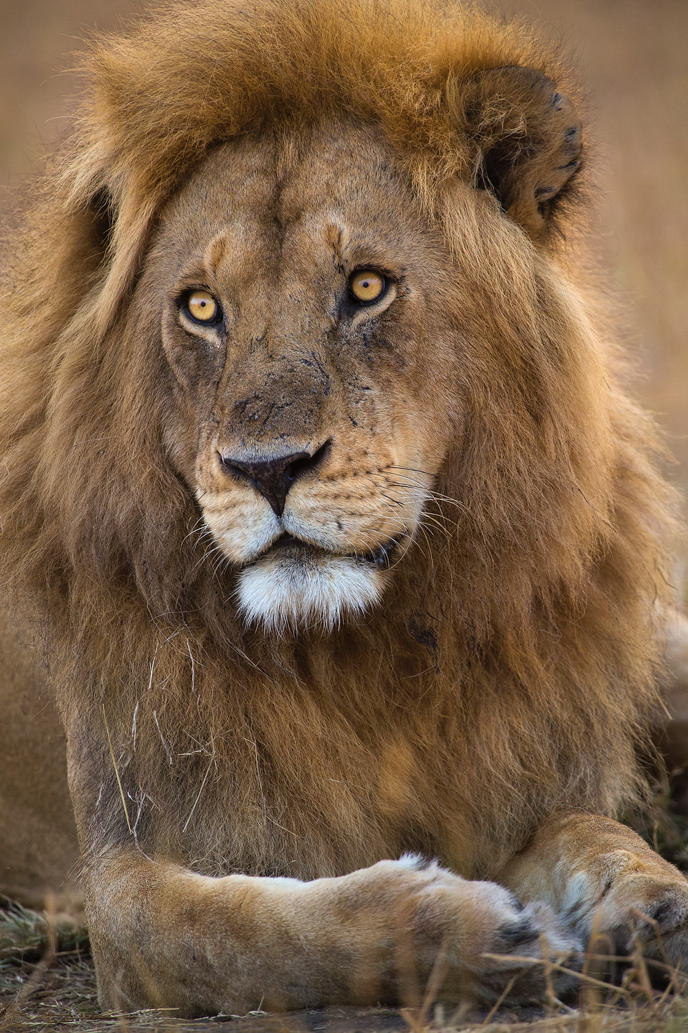 A portrait of a male lion in the Serengeti National Park, Tanzania