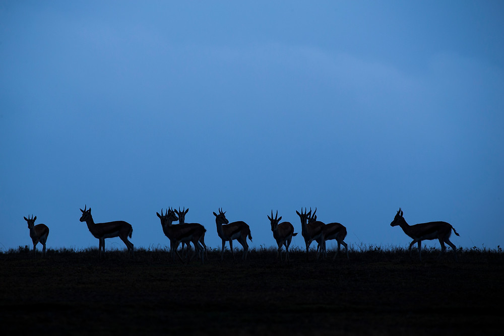 Silhouettes of Thompson's Gazelles in the Serengeti National Park