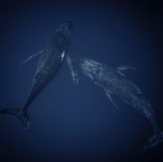 Humpback Whale in Tonga