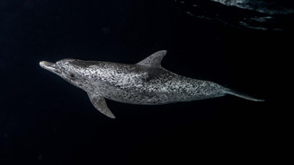 Spotted dolphin at night