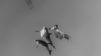Dolphins and free diver