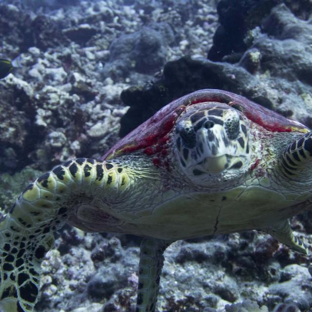 Rangiroa turtle