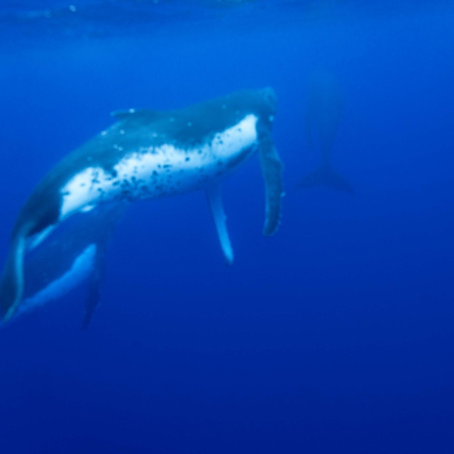 Moorea Humbpack whale