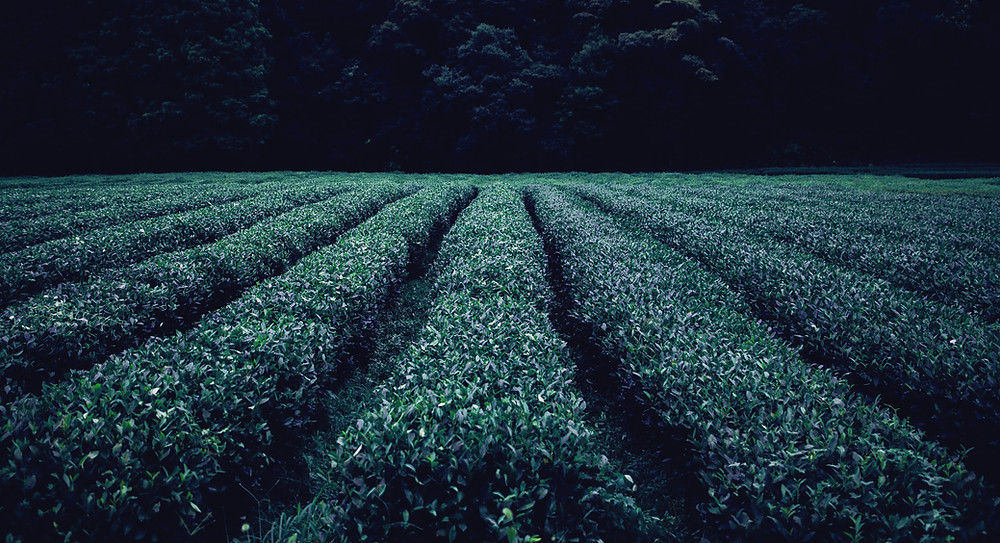 field of tea plants
