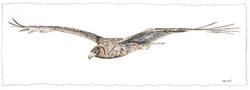 Harrier Hawk PRINT Framed