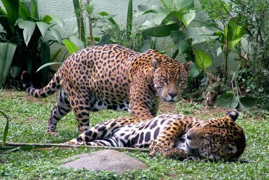 zoo-oncas.jpg