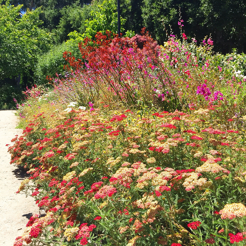Flower bed with Red and Yellow variegated yarrow in the front, red kangaroo paws in the middle, and other tall plants with pink blossoms in the back.