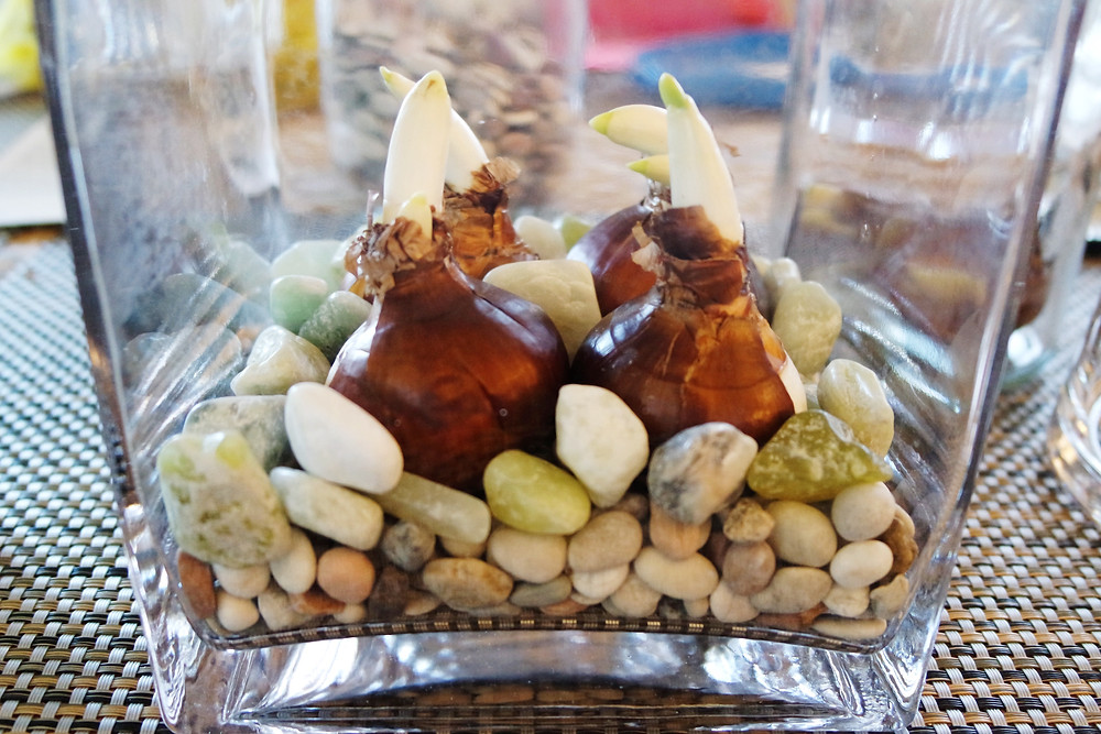 Side view of a square vase with four paperwhite bulbs sitting on and surrounded by stones of various shapes.