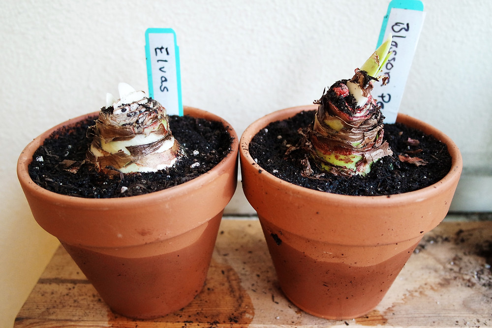 Two amaryllis bulbs freshly planted in terracotta pots. You can see the water level on the bottom of the pots.