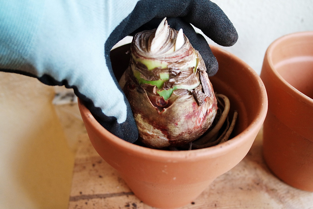 Gloved hand holding an amaryllis bulb in a pot to gauge the correct level of soil.