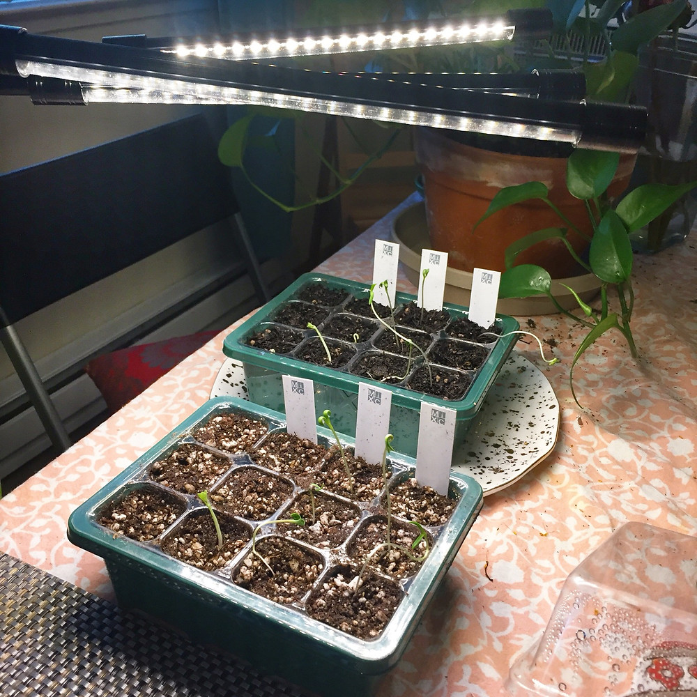 Two green trays of dirt with plants sprouting from seeds under LED grow lights.