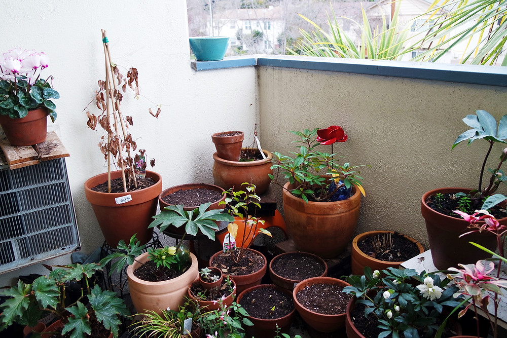 Shot of the corner of a balcony container garden, lots of terracotta pots set on different levels. Some are full of dirt and some have plants growing in them.