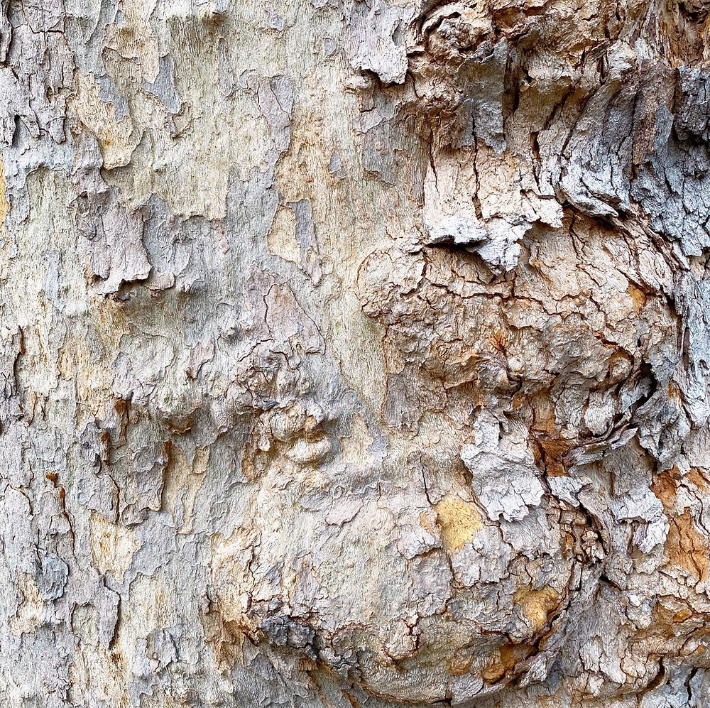 A close of image of a tree trunk, showing the bark stripped away on the left and flaking but still in place on the right. The color of the trunk is mottled gray and beige while the bark is a darker gray and light brown.