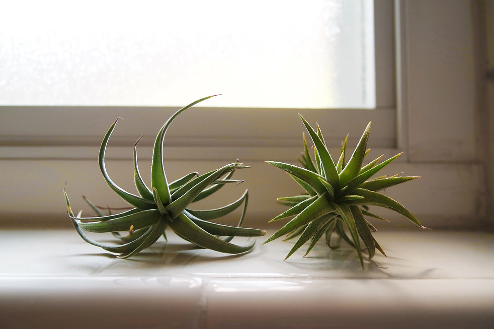 Two Air Plants sitting on a tiled window sill.