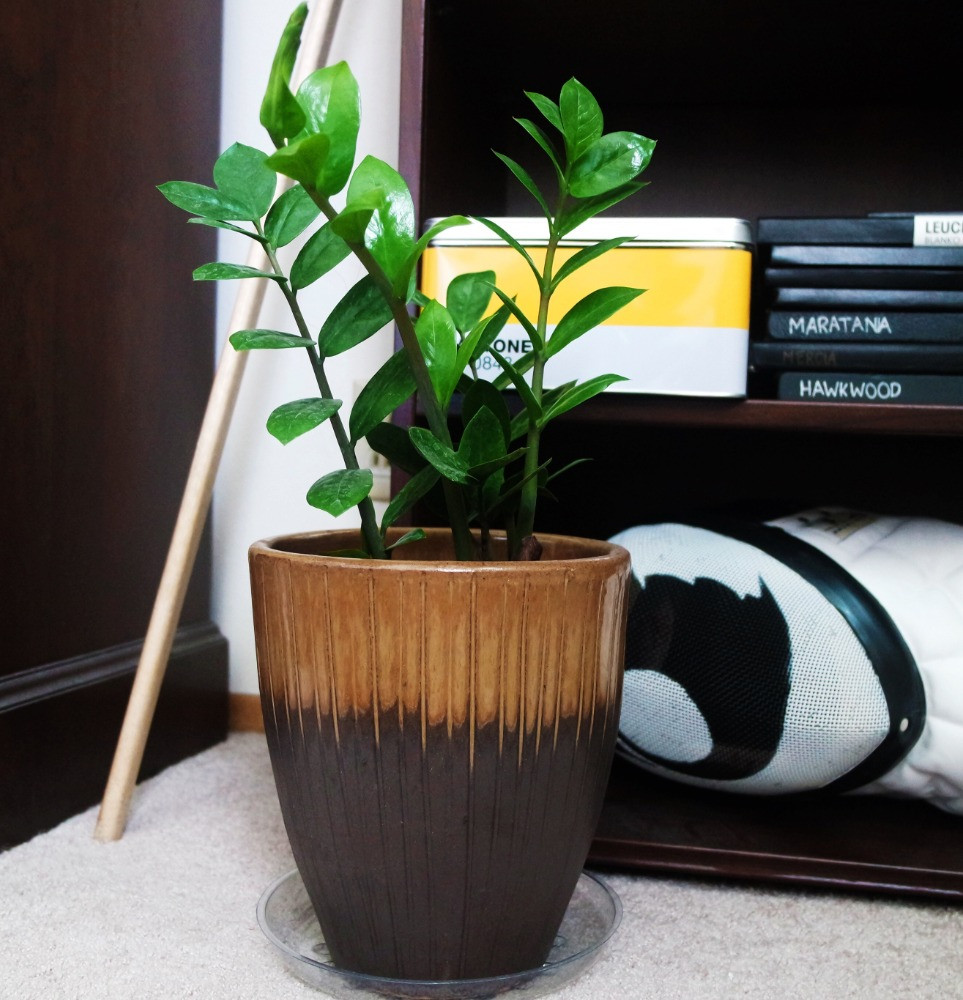ZZ Plant in a bown pot sitting on the floor in front of bookshelf holding a fencing mask, yellow pantone tin, and black notebooks.