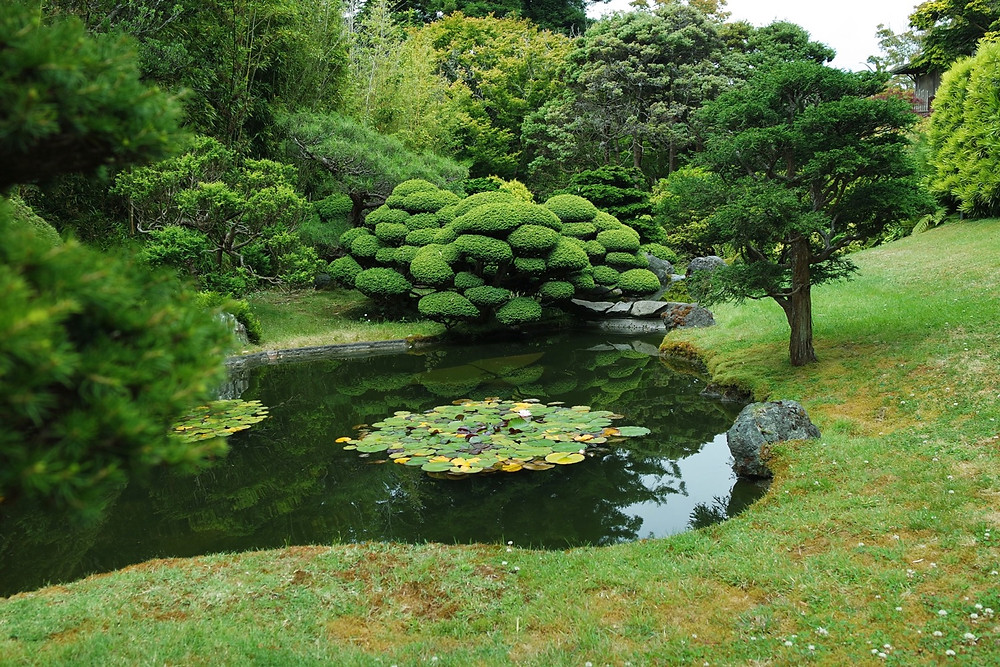 A pond surrounded by green grass with two groups of lily pads in the middle of it. A group of small trees trimmed into mounds sits on the edge at the back.