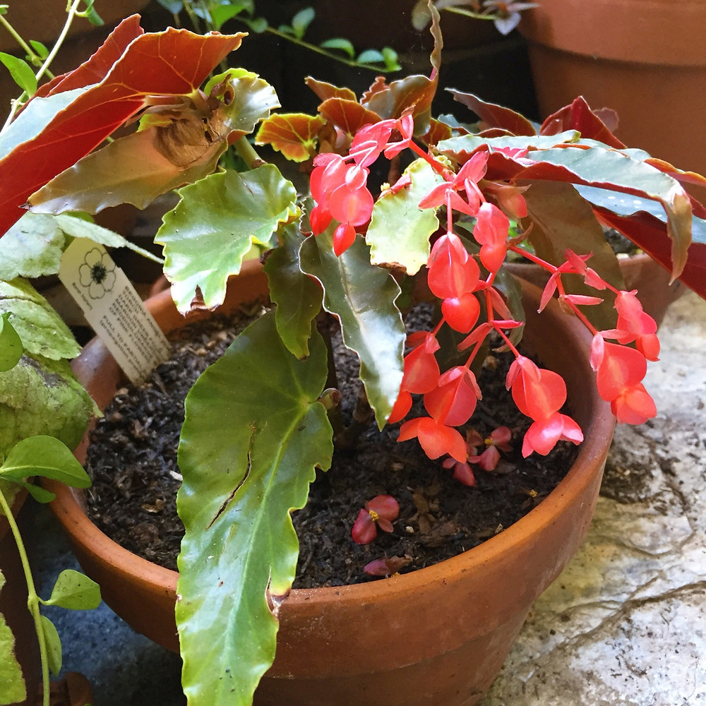 A terracotta pot with a red angel wing begonia.