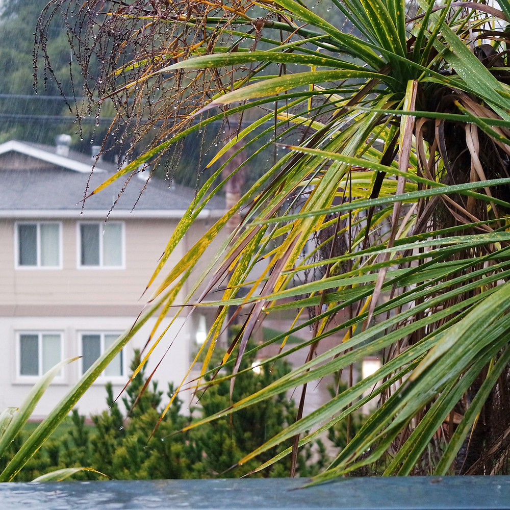 View of palms fronds dripping with rain, a beige house with a gray roof in the background.