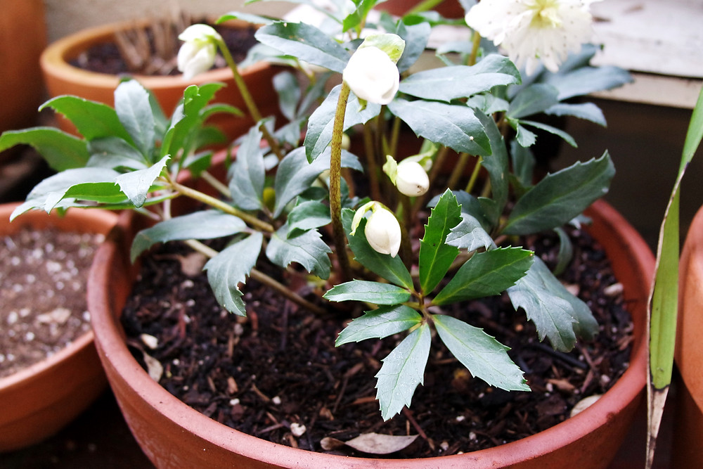 Shot of a Lenten Rose with four to five white flower buds in a terracotta pot.
