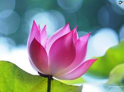 lotus-4a