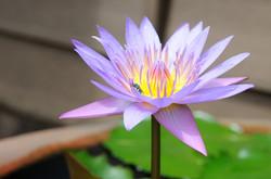 lotus-1134755_960_720
