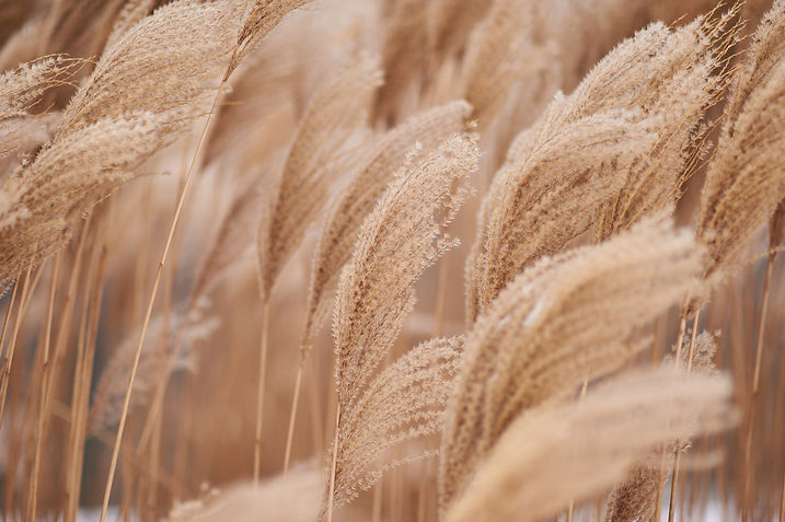 dried-stalks-of-reeds-against-the-backgr