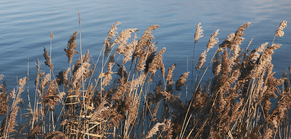 dry-reeds-against-the-backdrop-of-a-calm