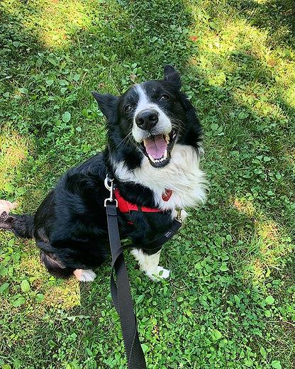 happy first day of summer, everybody! 🐾🐶 #harlowschoolfordogs #dogstagram #trainingwalk #handsomed