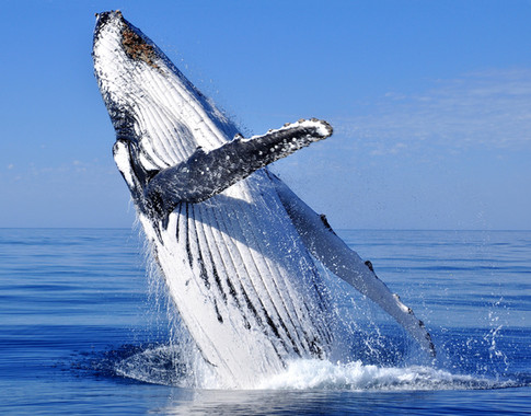 Breaching humpback whale watching