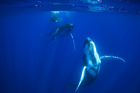 Humpback mother, calf and escort