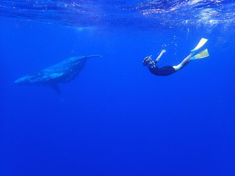 Swimming with humpback whale calf