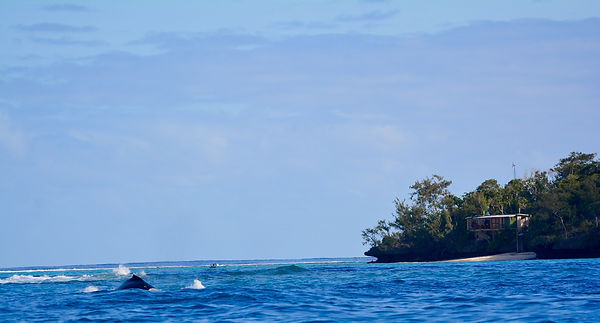 Humpback whales in front of The Beach House and Coral Cottage