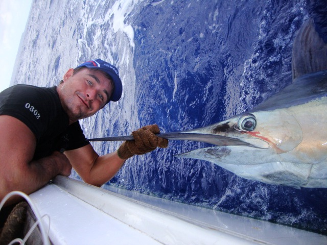 Tag and release blue marlin