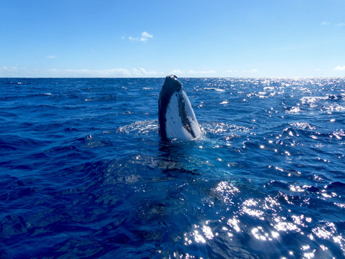 Humpback whale spy-hopping