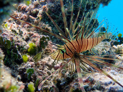 Lion fish in the blue lagoon
