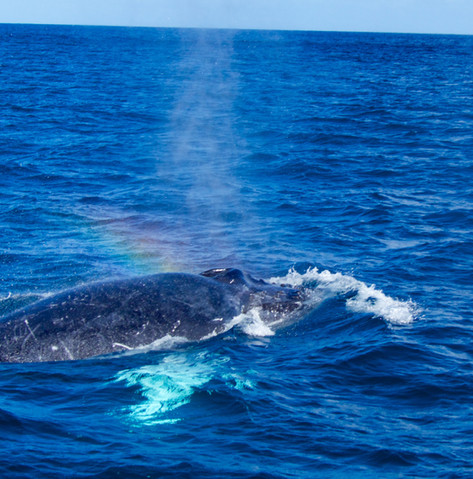 Adult humpback's blow