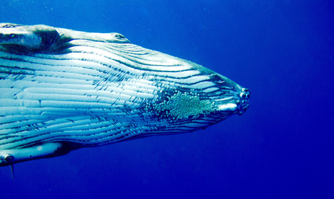 Underside of humpback whale calf