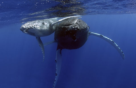 Humpback mother and calf - swimming with whales in Tonga