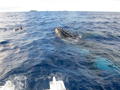Humpback whale with snorkellers